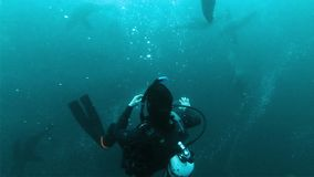 Close up: seals curiously playing with scuba diver
