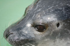 Close up of seals head Stock Image