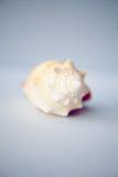 Close up seashell on blue background Stock Photo