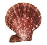 Close up of a seashell royalty free stock image