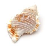 Close up of a seashell royalty free stock photo