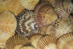 Close up of seashells. Close-up of ribbed seashells forming a patters royalty free stock images