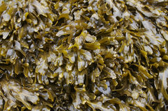 Close-up of Seaweed. Wet Seaweed in North Devon uk royalty free stock photo