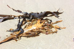 Close up of seaweed on sand Royalty Free Stock Photos