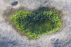 Close up of seaweed on the stone Stock Image