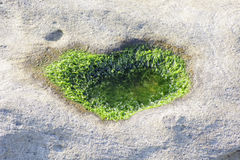 Close up of seaweed on the stone Stock Photo