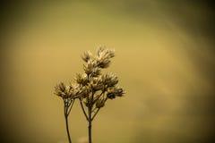 Close up secado da erva daninha em um campo Imagens de Stock Royalty Free