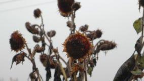 Close-up secado dos frutos do girassol filme