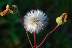 Close up of seed head of Common Sowthistle with blurred background. Sonchus oleraceus royalty free stock photos