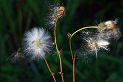 Close up of seed head of Common Sowthistle with blurred background. Sonchus oleraceus stock image