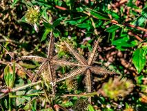 star shaped weeds royalty free stock photos