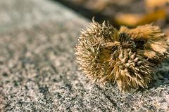 Close up seed pod. Close up of seed pod on concrete wall Royalty Free Stock Photo