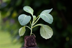 Close Up , Seedling,cabbage Plant Royalty Free Stock Photo