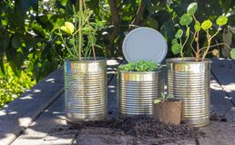Close up of seedlings growing in reuse tin cans and toilet roll tube outside on garden bench