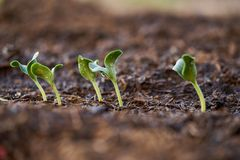 Close up seedlings of pumpkin royalty free stock images