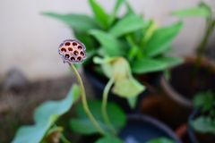 Close up of the seeds and holes of Dried Lotus Flower royalty free stock photography