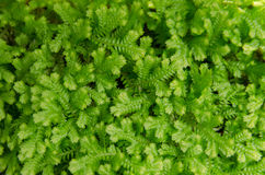 Close-up of selaginella kraussiana - green nature background, te Royalty Free Stock Image