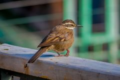 Close up of selective focus of beautiful tiny bird posing over a wooden structure in a blurred building background in stock image