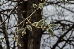 Close up and Selective focus of branch willow or salix caprea with buds blossoming in early spring. Plana mountain, Bulgaria Royalty Free Stock Image