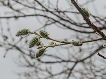 Close up and Selective focus of branch willow or salix caprea with buds blossoming in early spring, Plana mountain. Bulgaria Stock Photo
