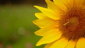 Close up and selective focus of refreshing sunflower in the mid of the afternoon sunlight.  stock video