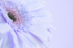 Close up and selective focus of sweet blue  Gerbera flower with Stock Photo