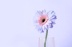 Close up and selective focus of sweet pink  Gerbera flower, roma Royalty Free Stock Image