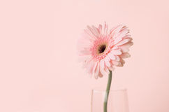 Close up and selective focus of sweet pink  Gerbera flower, roma Royalty Free Stock Photos