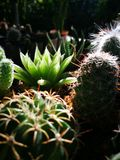 Close up and Selective focusing on Cactus in the morning with natural light stock photography