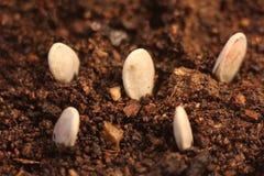 Close-up seletivo da plântula verde A abóbora verde planta o crescimento das sementes na terra imagens de stock royalty free