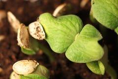 Close-up seletivo da plântula verde A abóbora verde planta o crescimento das sementes na terra fotos de stock royalty free