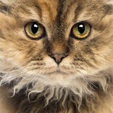 Close-up of a Selkirk Rex, 5 months old Royalty Free Stock Image