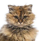 Close-up of a Selkirk Rex, 5 months old, looking at camera Stock Photography