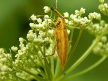 Close up selvagem da broca do inseto Imagem de Stock Royalty Free