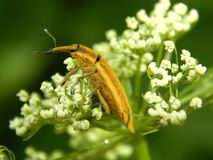 Close up selvagem da broca do inseto Fotografia de Stock Royalty Free