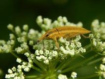 Close up selvagem da broca do inseto Foto de Stock