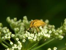 Close up selvagem da broca do inseto Fotografia de Stock