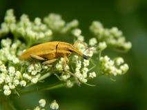 Close up selvagem da broca do inseto Fotos de Stock Royalty Free