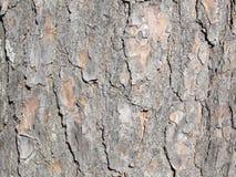 Close up sempre-verde da casca do tronco de árvore Foto de Stock