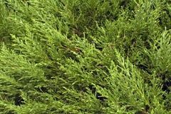 Close up sempre-verde dos ramos de árvore do thuja Fundo e textura imagem de stock royalty free