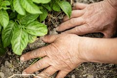 The hand of the senior makes the soil of the field. royalty free stock images