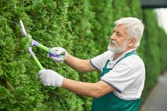 Close up of senior man, cutting green bush. Close up of cheerful senior man, cutting green bush of white cedar using long secateurs near house. Male worker stock images