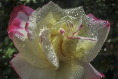 Close-up sensual petals of tender white rose Double Delight with large and transparent raindrops. Lyric motif stock photos