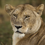 Close-up of Serengeti National Park, Serengeti Stock Images