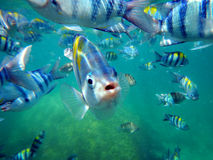 Close up of sergeant major fish Stock Images