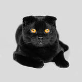 Close-up serious black Cat with Yellow Eyes in Dark. Face black stock images