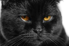 Close-up serious black Cat with Yellow Eyes in Dark. Face black stock photography