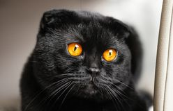 Close-up serious black Cat with Yellow Eyes in Dark. Face black. Scottish fold cat with Golden eyes. Portrait of the cat royalty free stock image