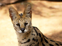 Close-Up of Serval African Wild Cat Stock Images