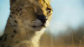 Close up a serval cat with spotted like a cheetah and extra long legs, Savanna, Africa royalty free stock photos